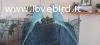 2 parrocchetti dal collare blu con gabbia