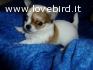Chihuahua cucciolo pelo lungo