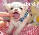 chihuahua mini toy  cuccioli