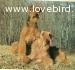 Cuccioli di Airedale Terrier