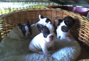 cuccioli di bouledogue francese