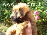 Cuccioli di Irish Soft Coated Wheaten Terrier