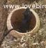 Gerbilli della Mongolia