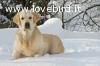 Golden Retriever cuccioli Eccellenti