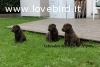 Labrador cuccioli cioccolato-neri