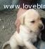 Maschietto Labrador biondo