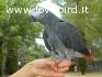 Parlare, cantare e ballare coda rossa pappagalli