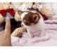Regalo cuccioli di chihuahua toy disponibili per