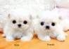 Regalo cuccioli maltese mini toy