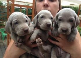 weimaraner cuccioli